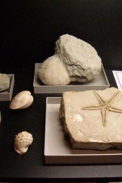 Particolare di fossili all'interno del Museo dei Fossili dello Stirone